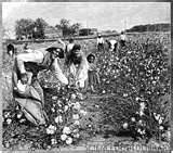 1900s cotton picking clarinda